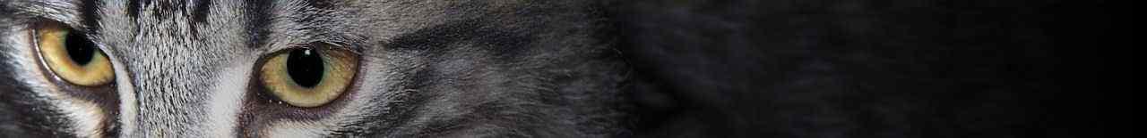 Nihal's Cattery - Allevamento cuccioli di Gatto Norvegese delle Foreste